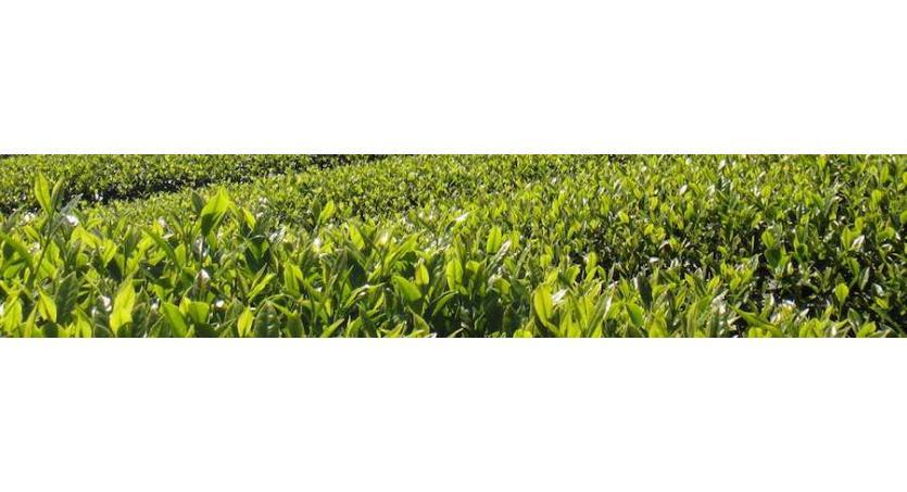 Der Perfekte gebrühte Grün Tee