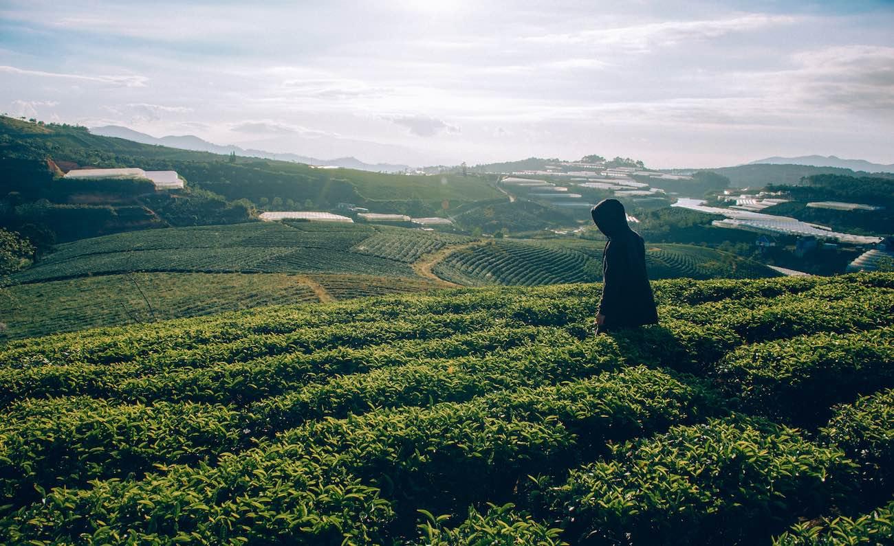 darjeeling assam tea garden